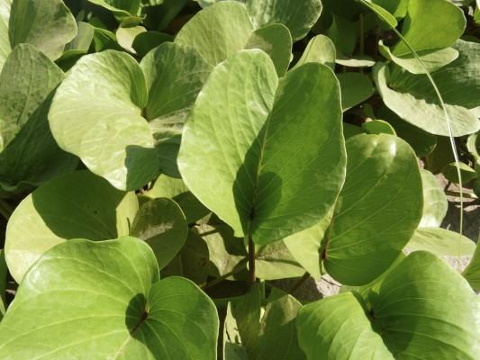 Ipomoea pes-caprae (L.) R.Br.