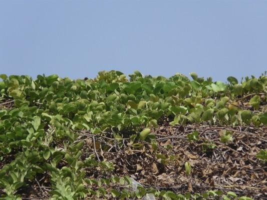 לפופית רגל-העז Ipomoea pes-caprae (L.) R.Br.
