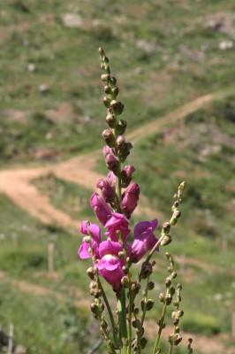 לוע-ארי גדול Antirrhinum majus L.