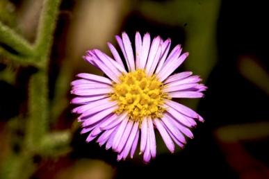 הפרחים הלשוניים עלייניים וערוכים בדורים אחדים, צבעם ורוד עד סגול. הצינוריים דו-מיניים, בעלי 5 שיניים צהובים.