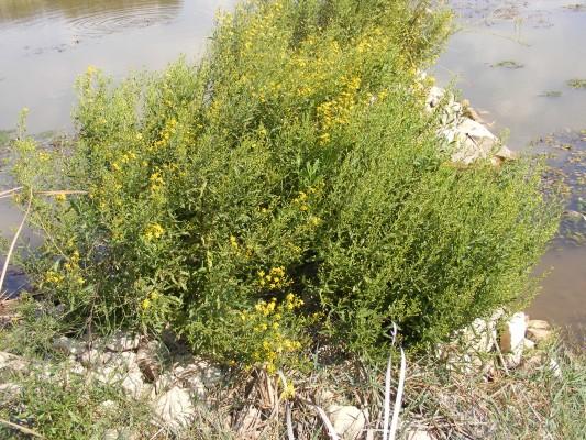 טיון דביק Dittrichia viscosa (L.) Greuter