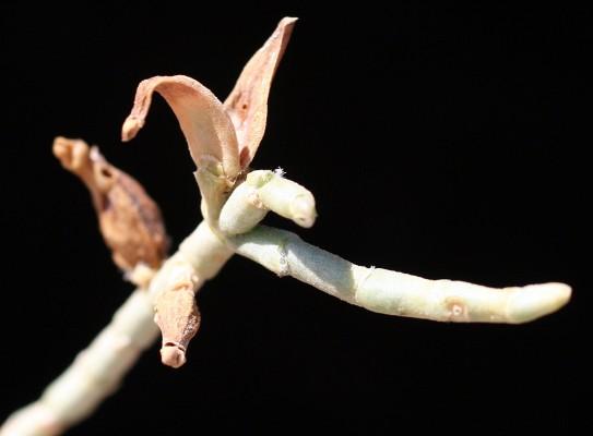 חמד השיח Haloxylon salicornicum (Moq.) Bunge ex Boiss.