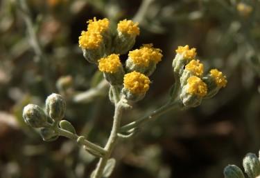 הקרקפות חסרות פרחים לשוניים או בעלות פרחים לשוניים זעירים.