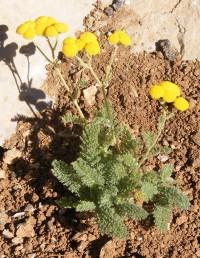 צמחי החרמון. שעירים אך לא מלבינים. אונות העלה נטויות בזווית חדה לעורק הראשי ואינן צפופות. הקרקפות ללא פרחים צינוריים.