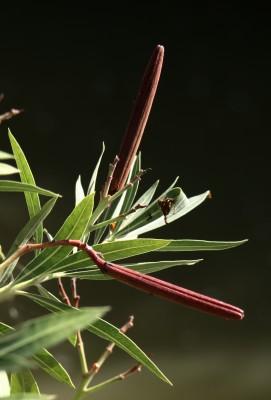 הרדוף הנחלים Nerium oleander L.