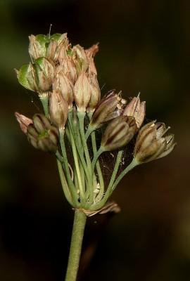 Allium tardiflorum Kollmann & Shmida