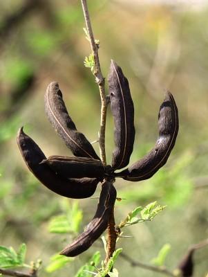 שיטת המשוכות Acacia farnesiana Willd.