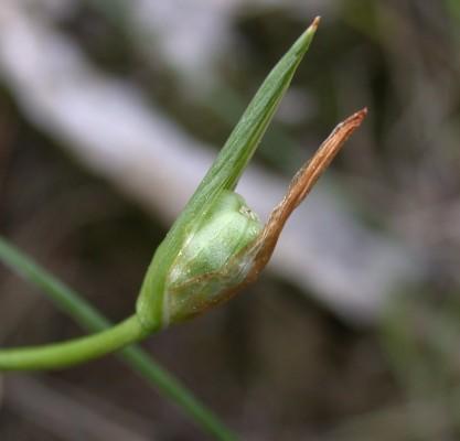 רומולאה צידונית Romulea phoenicia Mouterde