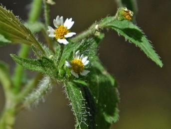 הפרחים הלשוניים עלייניים, לבנים, בעלי (2-) 3 אונות. הפרחים הצינוריים צהובים, דו-מיניים.