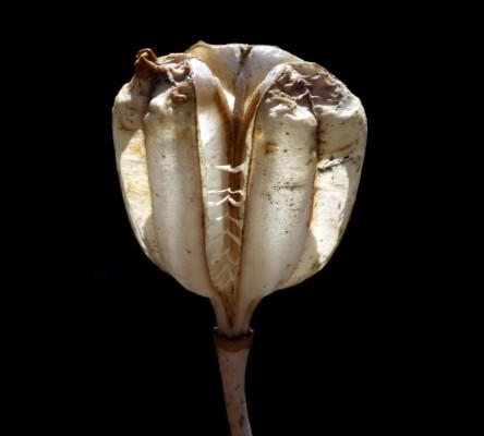 גביעונית עבת-עלים Fritillaria crassifolia Boiss. & A Huet var. hermonis (Fenzl) Boiss.
