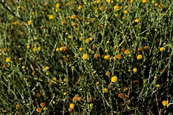 פרעושית מסולסלת Pulicaria undulata (Forssk.) C.A.Mey.