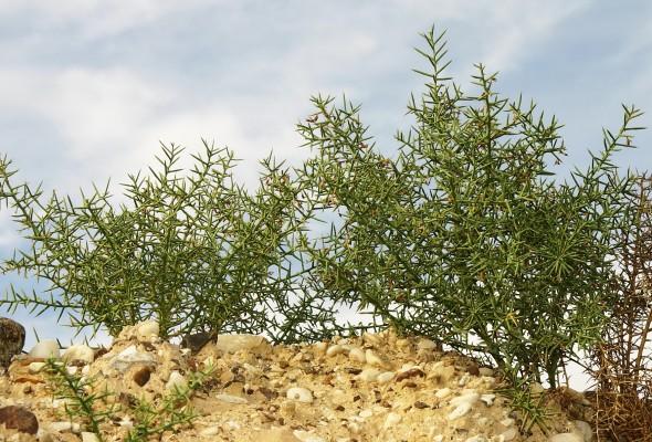 הגה מצויה Alhagi graecorum Boiss.