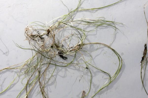 Potamogeton filiformis Pers.