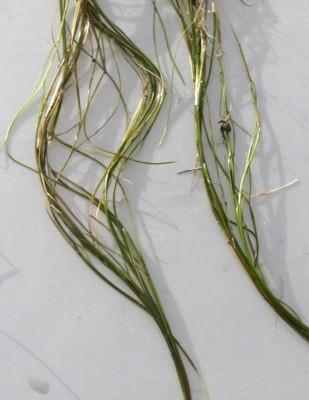 נהרונית חוטית Potamogeton filiformis Pers.