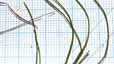 העלים נימיים, רוחבם 1-0.5 מ