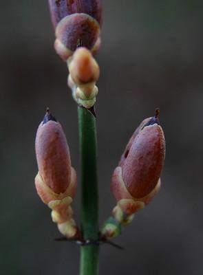 שרביטן מצוי Ephedra foeminea Forssk.