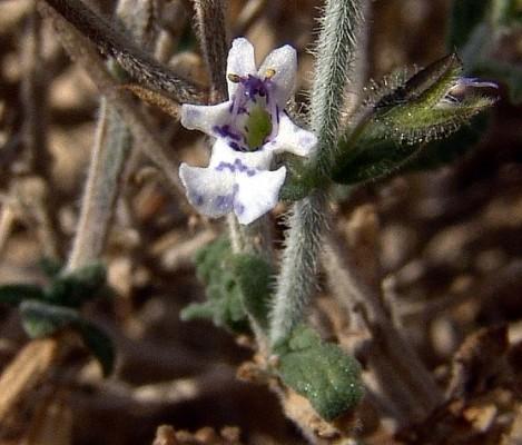 מרווה מצרית Salvia aegyptiaca L.