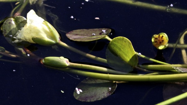 מימון הצפרדעים Hydrocharis morsus-ranae L.