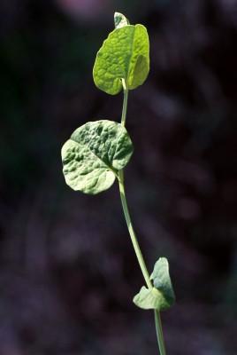 ספלול קטן Aristolochia parvifolia Sm.