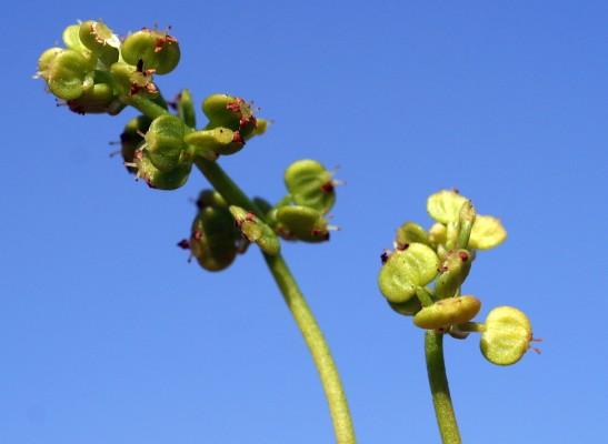 ספלילה טבורית Hydrocotyle vulgaris L.