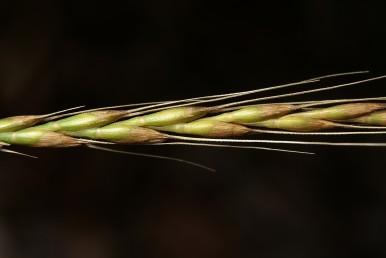 הזן הנפוץ בו יש מלענים בכל שיבולית.