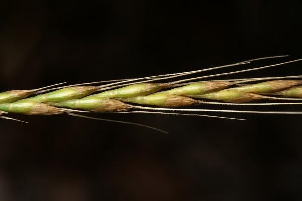 בן-חיטה שרוני Aegilops sharonensis Eig