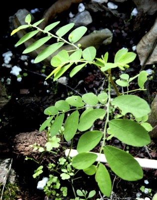 פילנתוס עגול-עלים Phyllanthus rotundifolius Klein ex Willd.