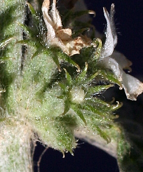 מרמר מצוי Marrubium vulgare L.