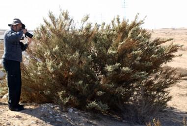 צמח זקוף הגדל בעיקר בבתי-גידול מופרעים לאורך כבישי הנגב והערבה.