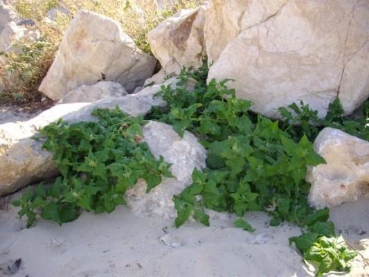 Tetragonia tetragonoides (Pallas) O. Kuntze