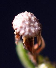 קייצת קנדית Erigeron canadensis L.