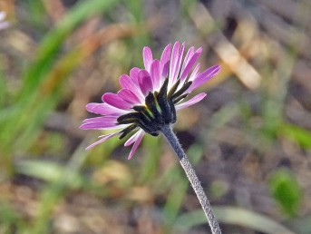 הפרחים הלשוניים סגולים בחלקם התחתון ולבנים בעליון.