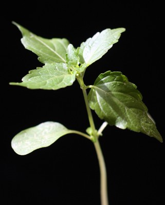 מרקולית מצויה Mercurialis annua L.