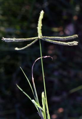 דגנה הודית Eleusine indica (L.) J.Gaertn.