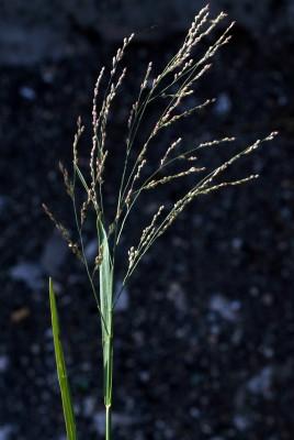 דוחן זוחל Panicum repens L.