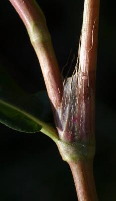 Persicaria decipiens (R.Br.) K.L. Wilson