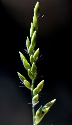 נסמנית קיפחת Urochloa mutica (Forssk.) Nguyen
