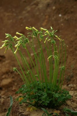 חמציץ נטוי Oxalis pes-caprae L.