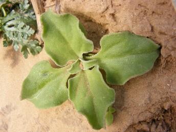 העלים שטוחים, התחתונים בעלי פטוטרת ונגדיים, העליונים מסורגים.
