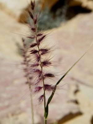זיף-נוצה ריסני Pennisetum ciliare (L.) Link