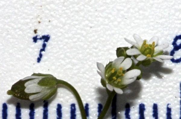 אביבית זעירה Erophila minima C.A.Mey.