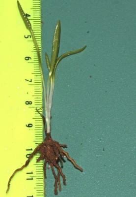 לשון-אפעה קטנה Ophioglossum lusitanicum L.