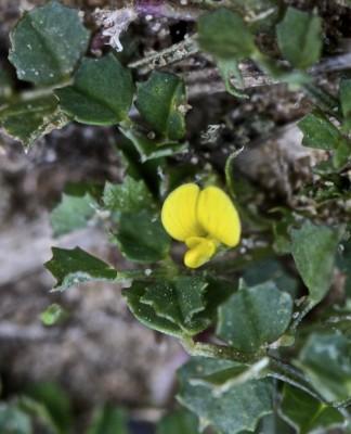 פקטורית אשרסון Factorovskya aschersoniana (Urb.) Eig