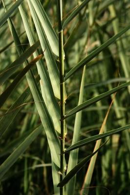 עבקנה נדיר Arundo micrantha Lam.