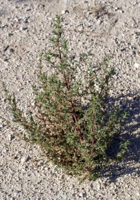 קוכיה הודית Bassia indica (Wight) A.J.Scott