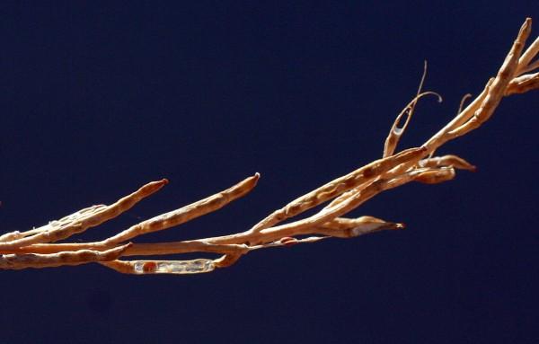 לפתית מצויה Hirschfeldia incana (L.) Lagr.-Foss.