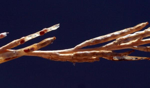 Hirschfeldia incana (L.) Lagr.-Foss.