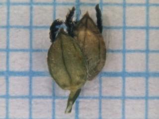 פספלון מורחב Paspalum dilatatum Poir.