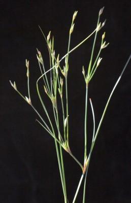 סמר מצוי Juncus bufonius L.