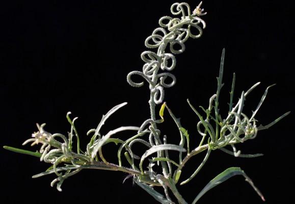 שנס המדבר Neotorularia torulosa (Desf.) Hedge & J. Leonard